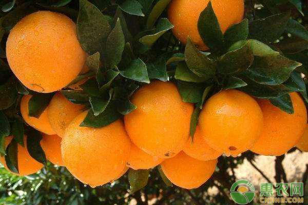脐橙多少钱一斤