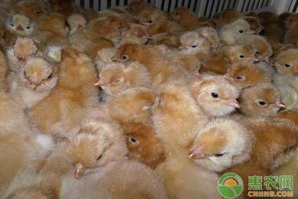 寻甸县:发展苗鸡产业带动群众增收致富