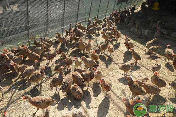 野山鸡养殖