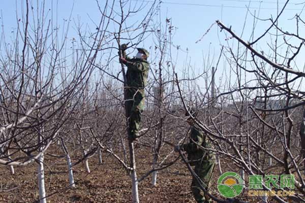 冬季如何修剪苹果树