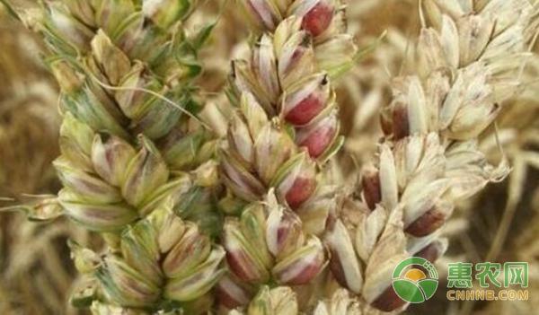 彩色小麦种植