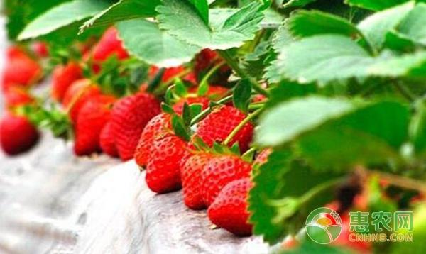 大棚草莓种植