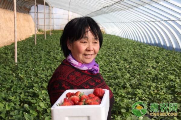 草莓种植产业