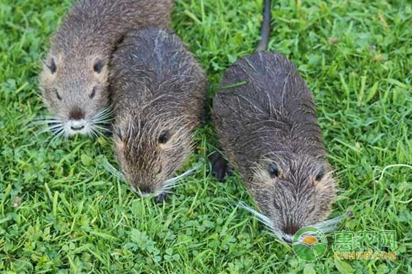 海狸鼠养殖管理与繁殖技术