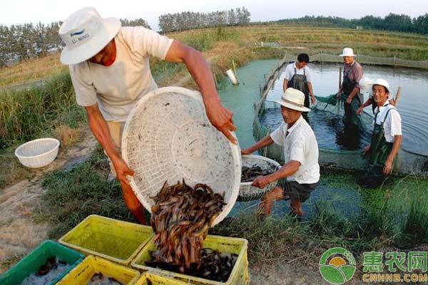 泥鳅养殖技术:泥鳅苗入池注意事项
