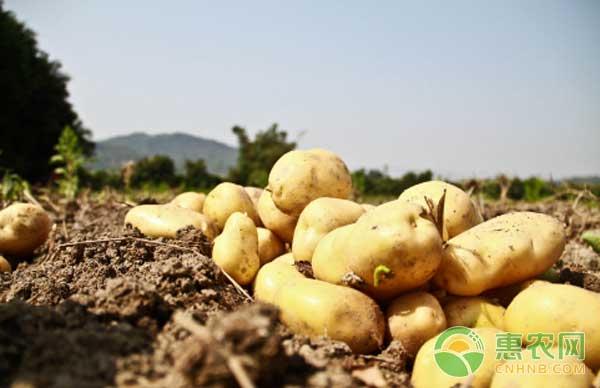 1月11日马铃薯产区价格行情:走货一般,价格暂稳