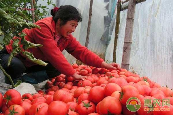 西红柿价格行情