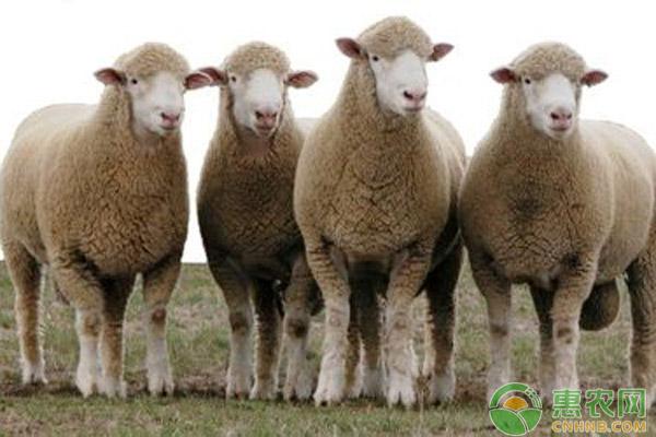 小尾羊养殖误区