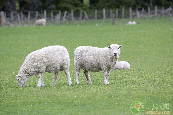 小尾羊如何养殖