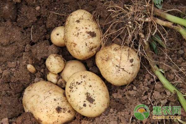 冬季如何种植马铃薯?冬季马铃薯高产种植技术