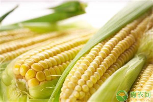 玉米品种选择