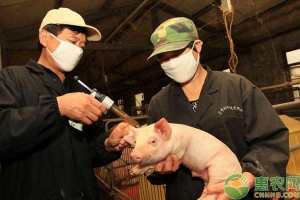 养猪技术:猪瘟高效预防措施