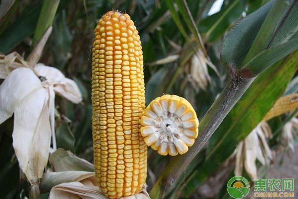 红轴玉米与白轴玉米哪个产量高