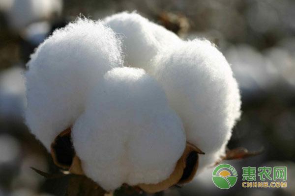 1月12日最新棉花价格行情走势