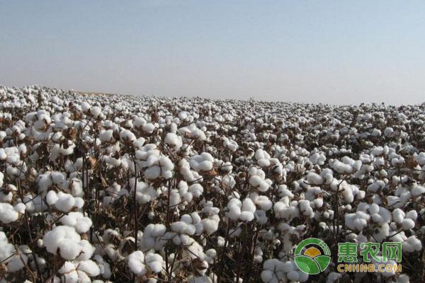 今日棉花多少钱一吨?