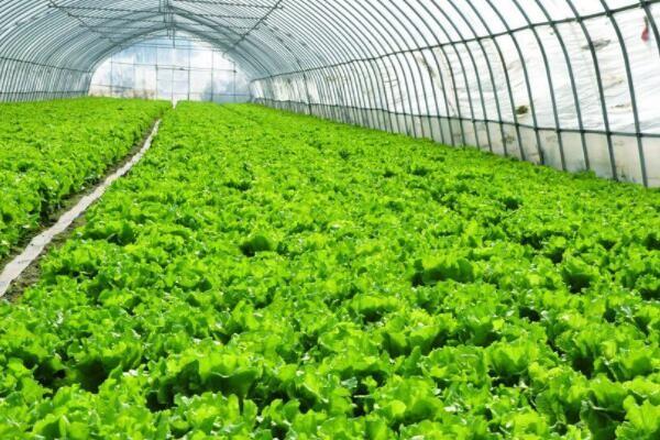 提前做好这2个预防措施,让冬季蔬菜大棚远离虫害
