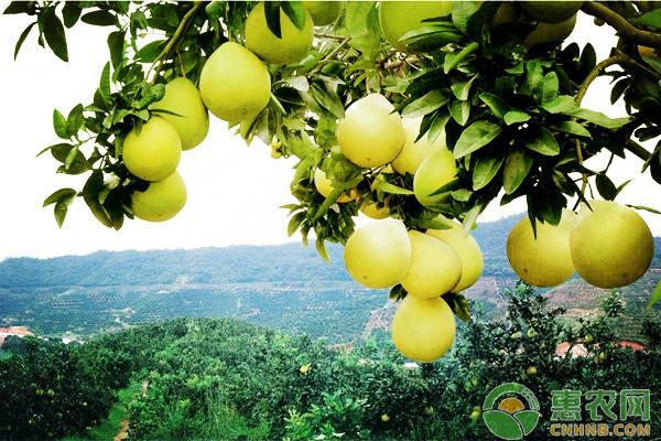 她回乡创业种植红肉蜜柚,昔日农民工成为致富带头人