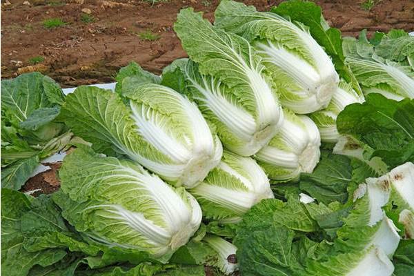 白菜种植技巧:白菜叶上小黑点出现的原因及其应对措施