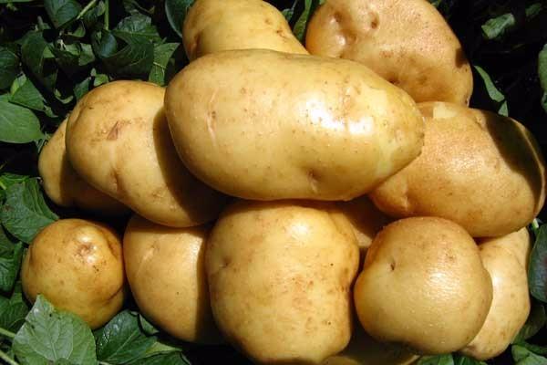 1月22日马铃薯产区价格行情:新货上市,价格稳中偏弱