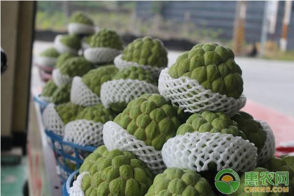 北方地区凤梨释迦高效种植管理技术
