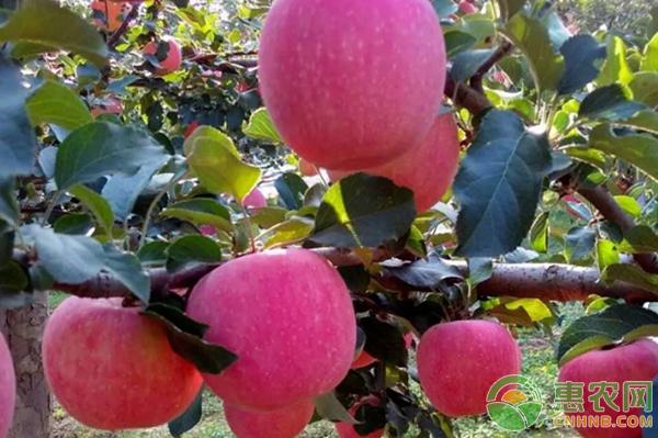 王宗伟的果园