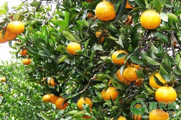 柑橘如何保存?