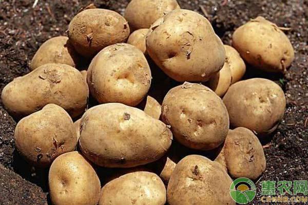 """长阳县:一颗""""金豆子""""让薯农奔小康"""