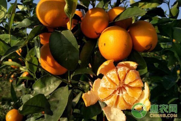 沃柑种植前景分析