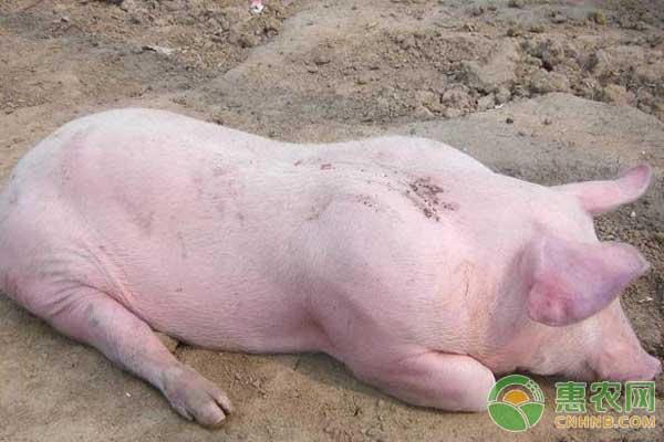 猪不吃食的防治措施