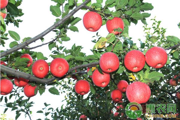 浅谈盛果期红富士苹果树的冬剪技术