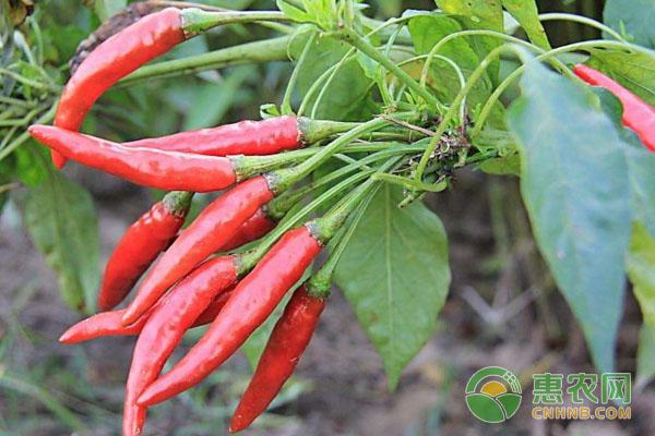 怎样种植辣椒才高产?