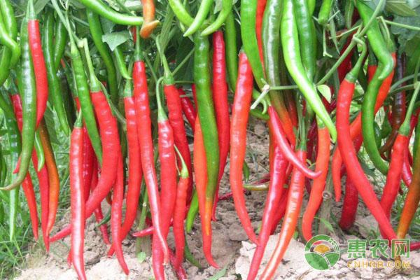 辣椒高产种植