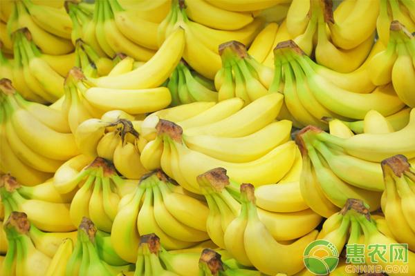 北方地区怎么种香蕉 香蕉栽培技术要点