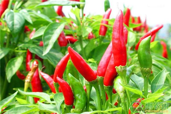 回乡创业推荐项目,李大哥种植辣椒年收入十来万
