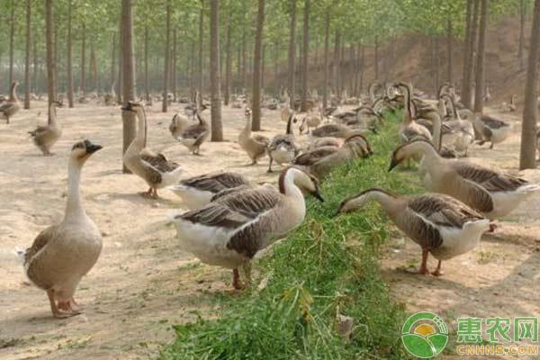 大雁人工养殖技术及养殖前景分析