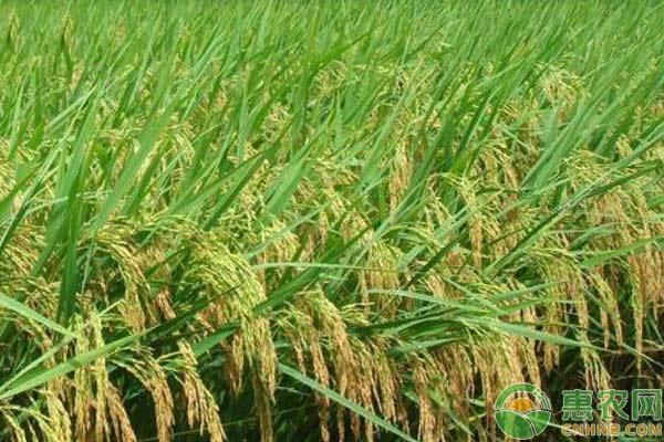 春季小麦除草时间及注意事项