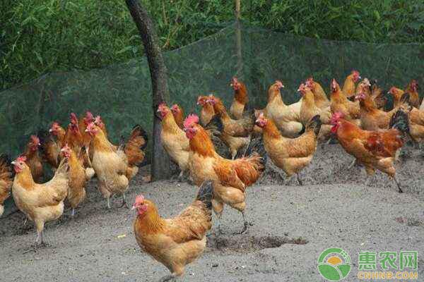 2月12日全国肉鸡价格