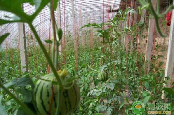 西瓜怎么高产种植?大棚西瓜种植技术详解