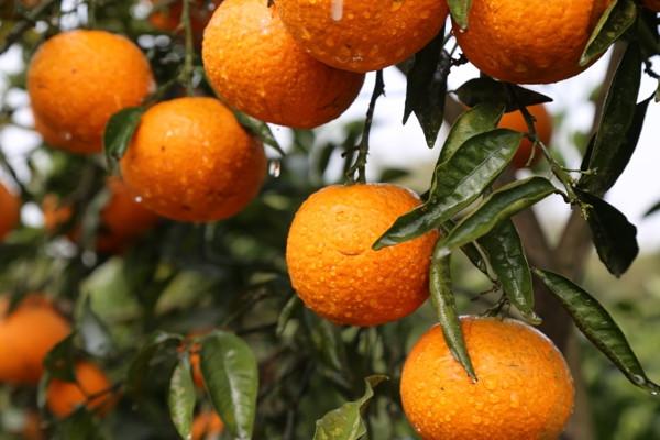 柑橘大小年怎么办?减少柑橘大小年的方法