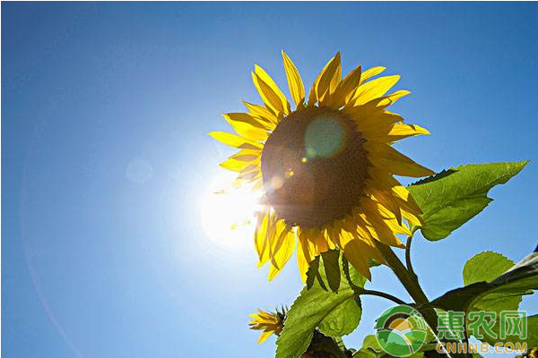 向日葵与大豆间作栽培技术