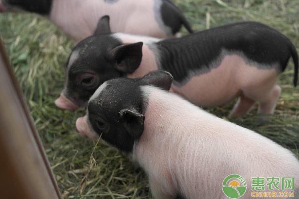 养猪小窍门:育肥猪阶段饲养管理七要素