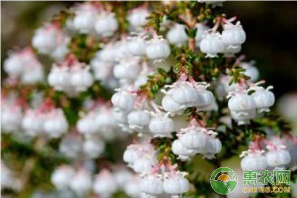 欧石楠高效栽培技术及主要病虫害防治