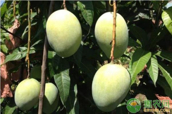 芒果种植课堂:芒果花期管理工作重点