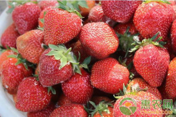 草莓种植课堂:蚯蚓粪在草莓种植过程中的作用