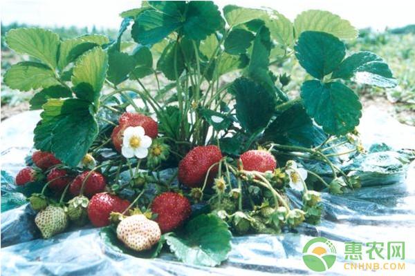 草莓种植干货分享:草莓蚜虫怎么防治?