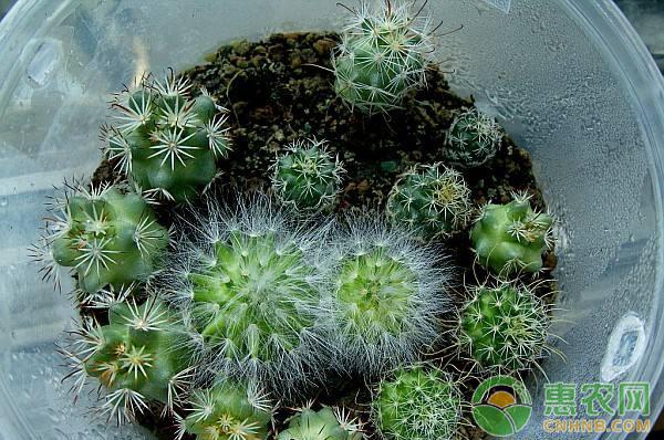 盆栽多肉植物乳突球的繁殖方法及栽培管理要点