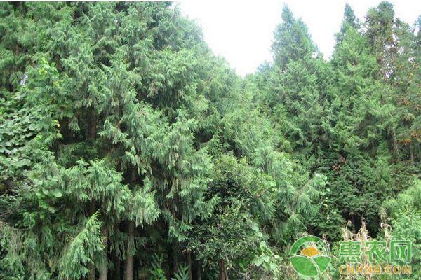 浅谈秃杉速生丰产用材林培育技术