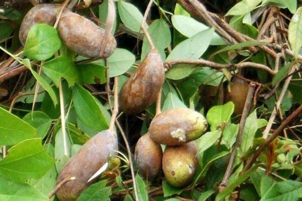 农民种植八月瓜致富,亩产2000斤(附种植方法)