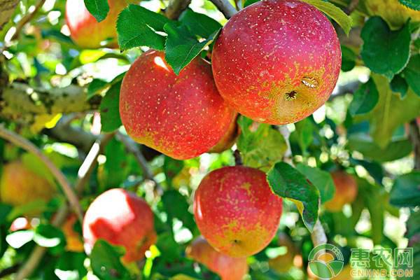 2018栽植矮化密植苹果园的成本及效益分析