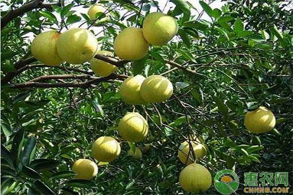 广丰马家柚:国家农产品地理标志产品广丰马家柚图文百科